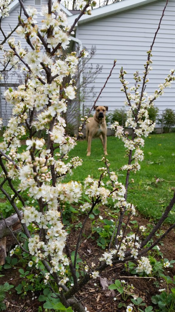 fargo plum tree