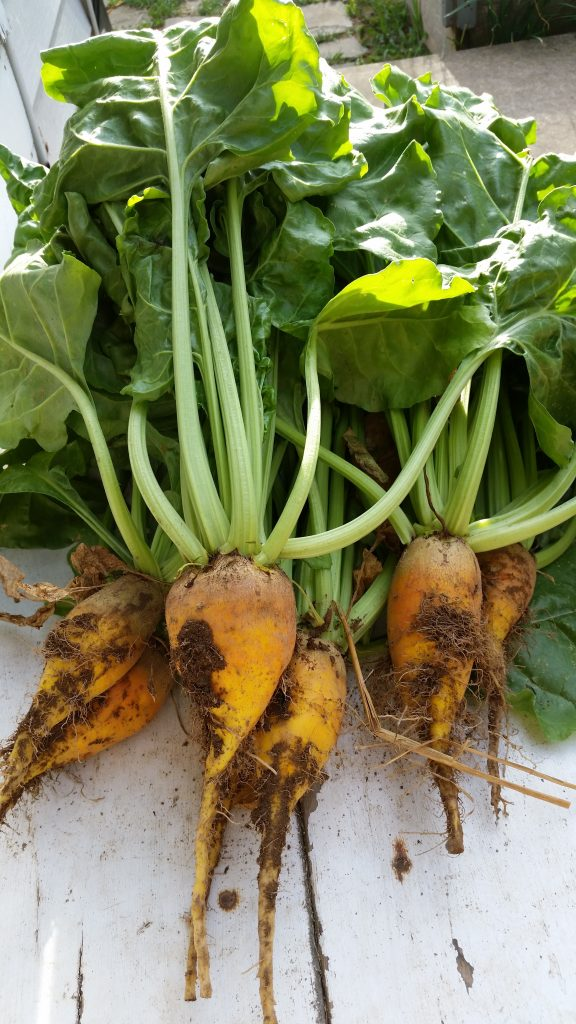 golden beet bunch